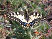 Farfalla (Ph: Renza Delbuono)