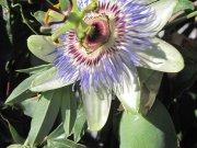 Passiflora (Ph: Mario Marchisio)
