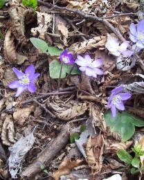 Primi fiori sul Monte Carmo (Ph: Marco Cavigliore)