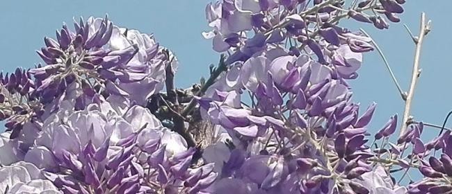 Albissola Mare, glicine (Ph: Provincia di Savona)