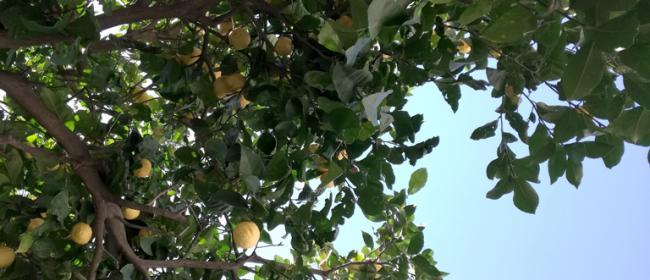 Limone (Ph: Provincia di Savona)