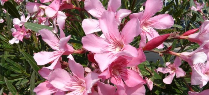 Finale Ligure, fiori sulla passeggiata di Finalpia (Ph: Provincia di Savona)