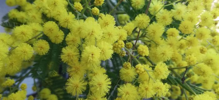 Mimosa (Ph: Provincia di Savona)