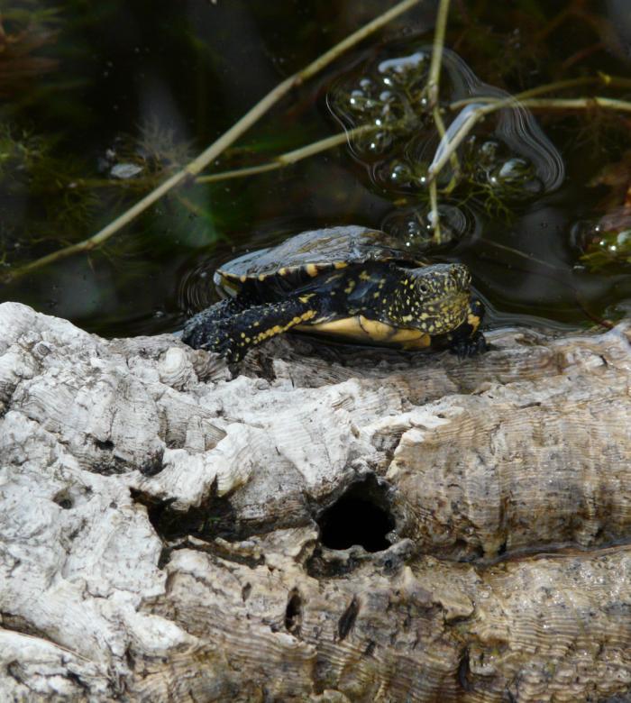 3 giugno 2021 - Rilascio in natura delle tartarughe Emys Orbicularis Ingauna